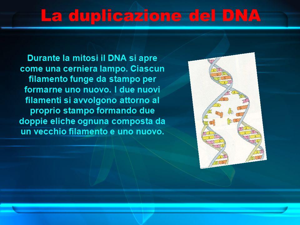 La duplicazione del DNA Durante la mitosi il DNA si apre come una cerniera lampo.