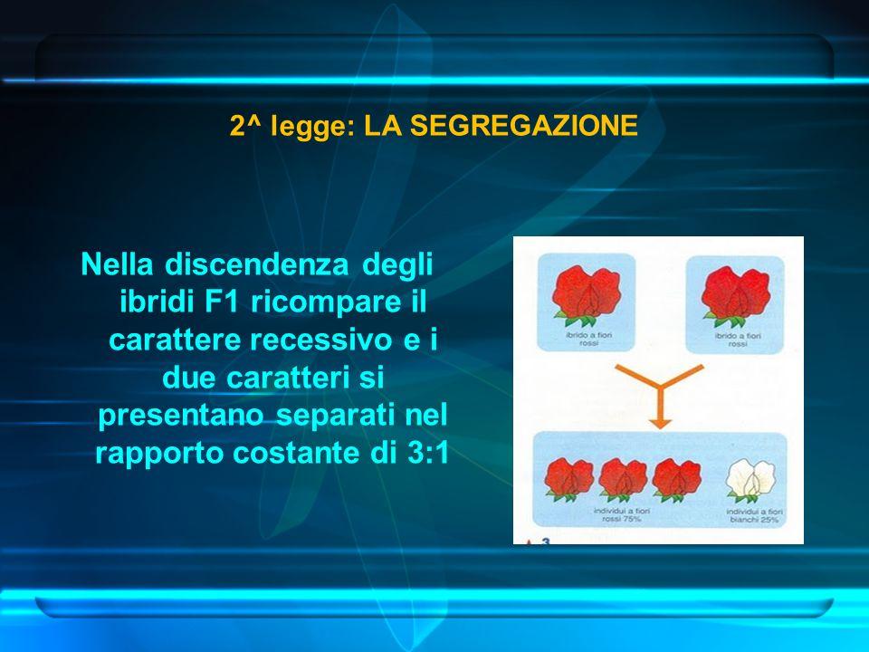 Nella discendenza degli ibridi F1 ricompare il carattere recessivo e i due caratteri si presentano separati nel rapporto costante di 3:1 2^ legge: LA SEGREGAZIONE