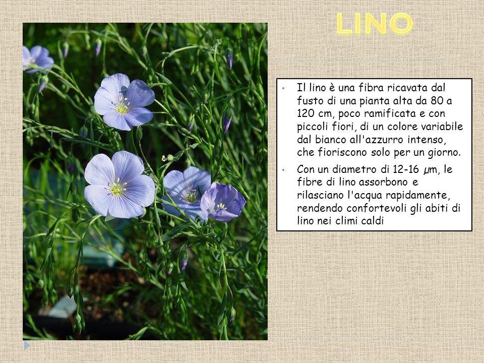 Il lino è una fibra ricavata dal fusto di una pianta alta da 80 a 120 cm, poco ramificata e con piccoli fiori, di un colore variabile dal bianco all azzurro intenso, che fioriscono solo per un giorno.