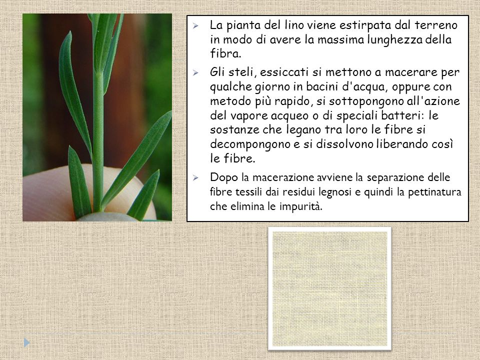 Il lino è una fibra ricavata dal fusto di una pianta alta da 80 a 120 cm, poco ramificata e con piccoli fiori, di un colore variabile dal bianco all'a