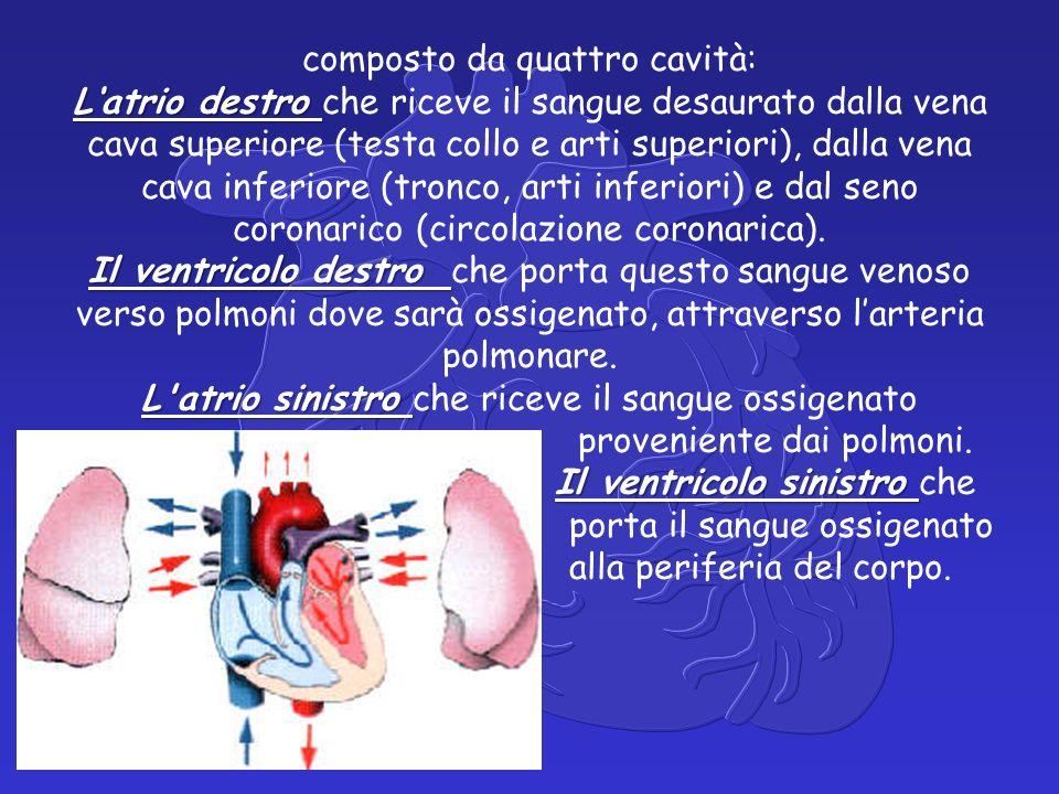 L'atrio destro Il ventricolo destro L atrio sinistro Il ventricolo sinistro composto da quattro cavità: L'atrio destro che riceve il sangue desaurato dalla vena cava superiore (testa collo e arti superiori), dalla vena cava inferiore (tronco, arti inferiori) e dal seno coronarico (circolazione coronarica).