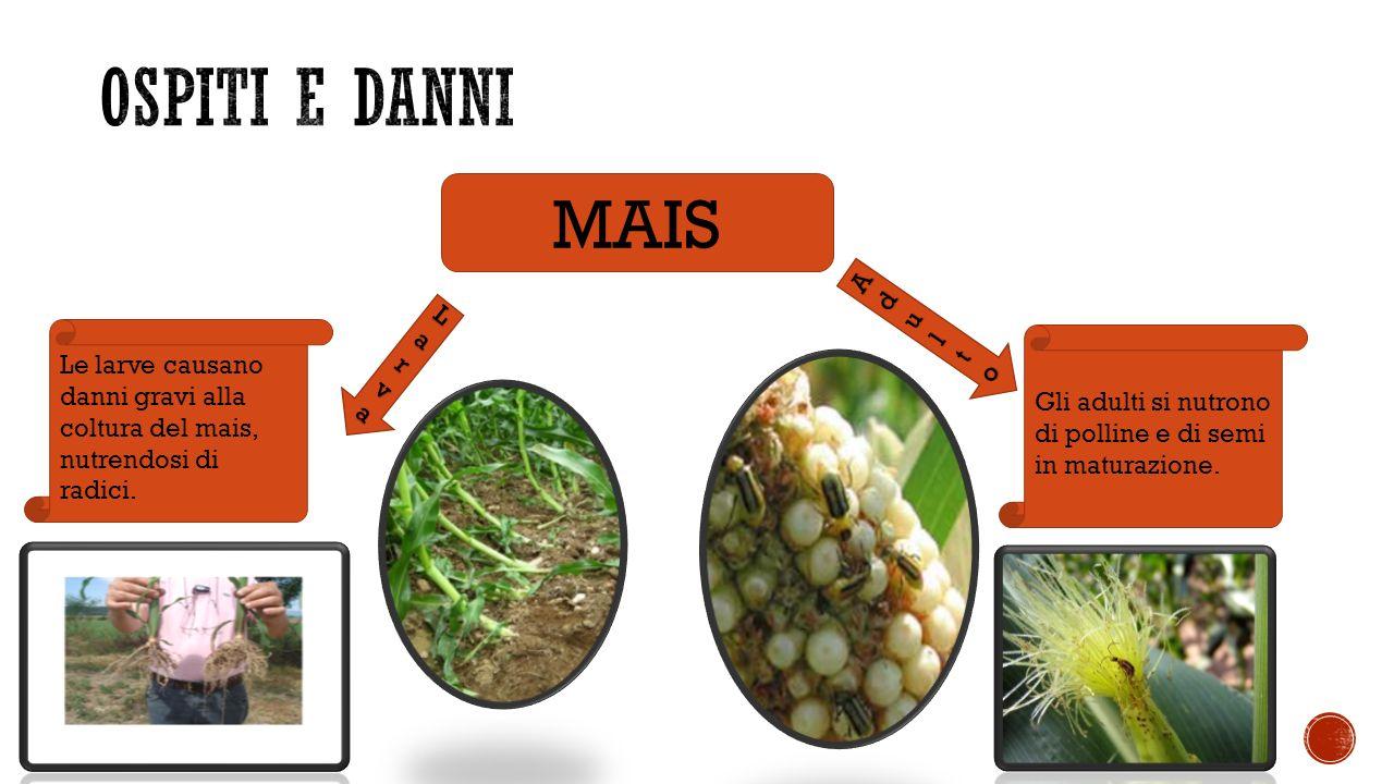 MAIS LarvaLarvaLarvaLarva AdultoAdultoAdultoAdulto Le larve causano danni gravi alla coltura del mais, nutrendosi di radici.
