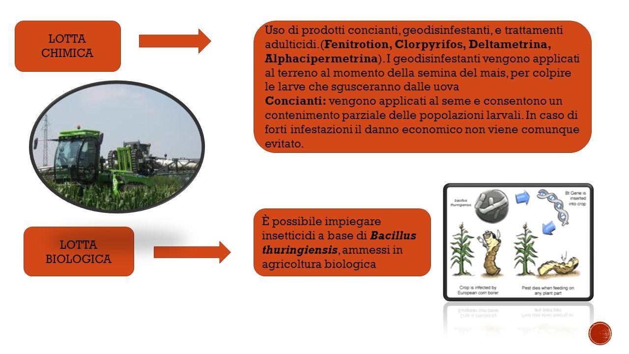 LOTTA CHIMICA LOTTA BIOLOGICA Uso di prodotti concianti, geodisinfestanti, e trattamenti adulticidi.(Fenitrotion, Clorpyrifos, Deltametrina, Alphacipermetrina).