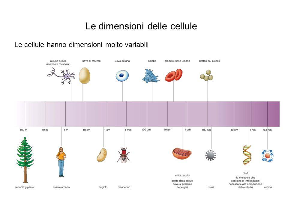 Le dimensioni delle cellule I limiti delle dimensioni cellulari