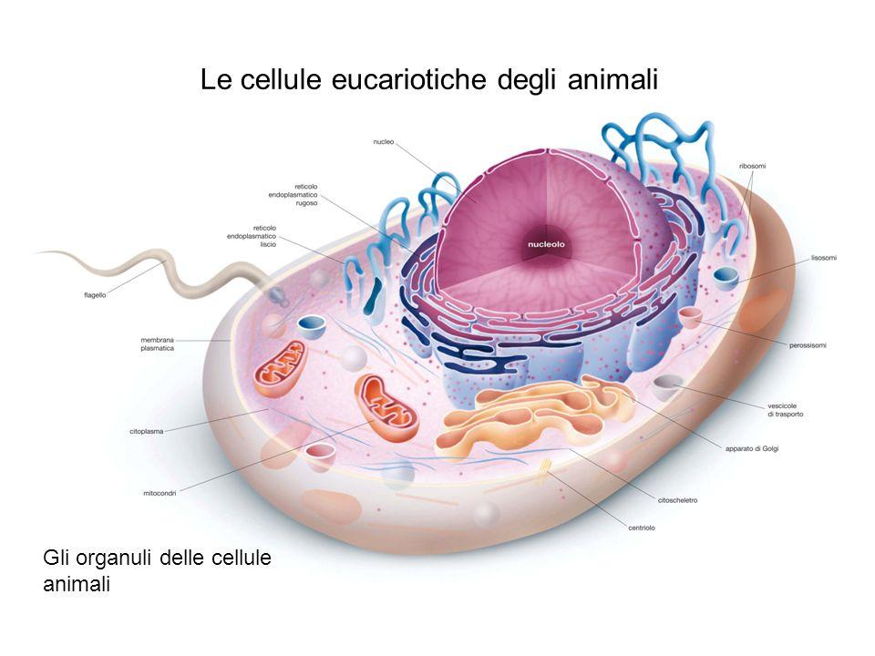 Le cellule eucariotiche delle piante Gli organuli delle cellule vegetali