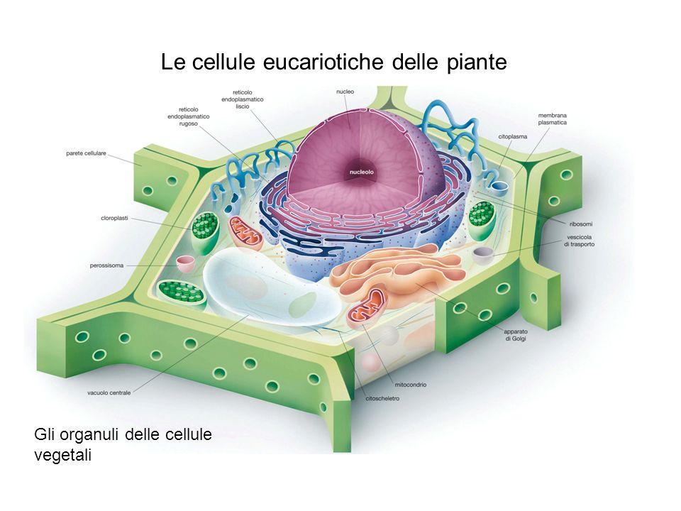 La forma e il movimento delle cellule Il citoscheletro