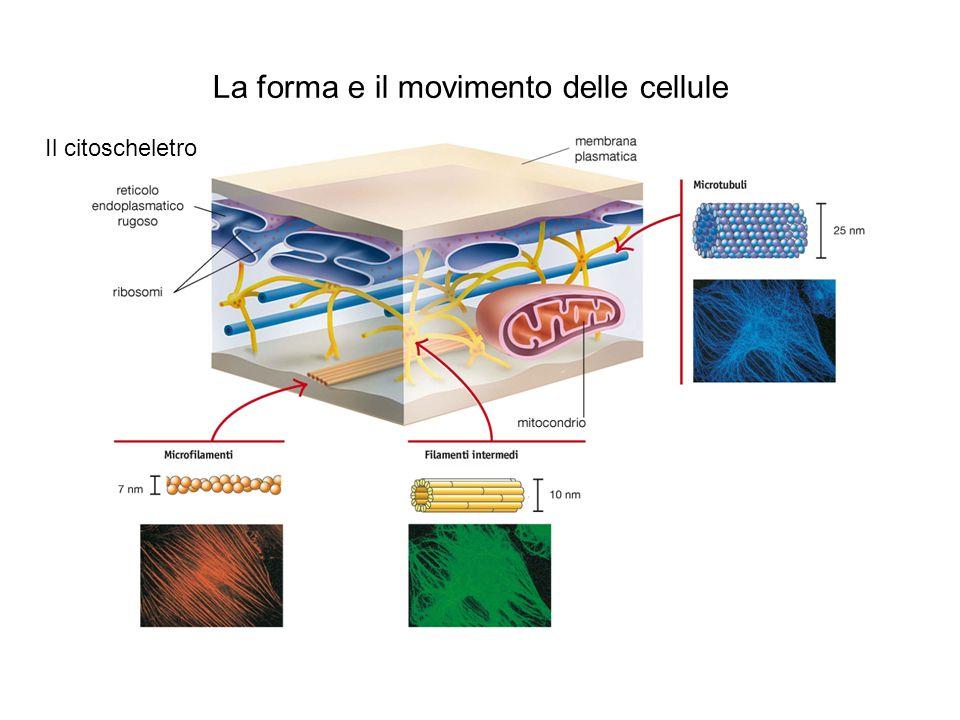 La forma e il movimento delle cellule Le ciglia e i flagelli
