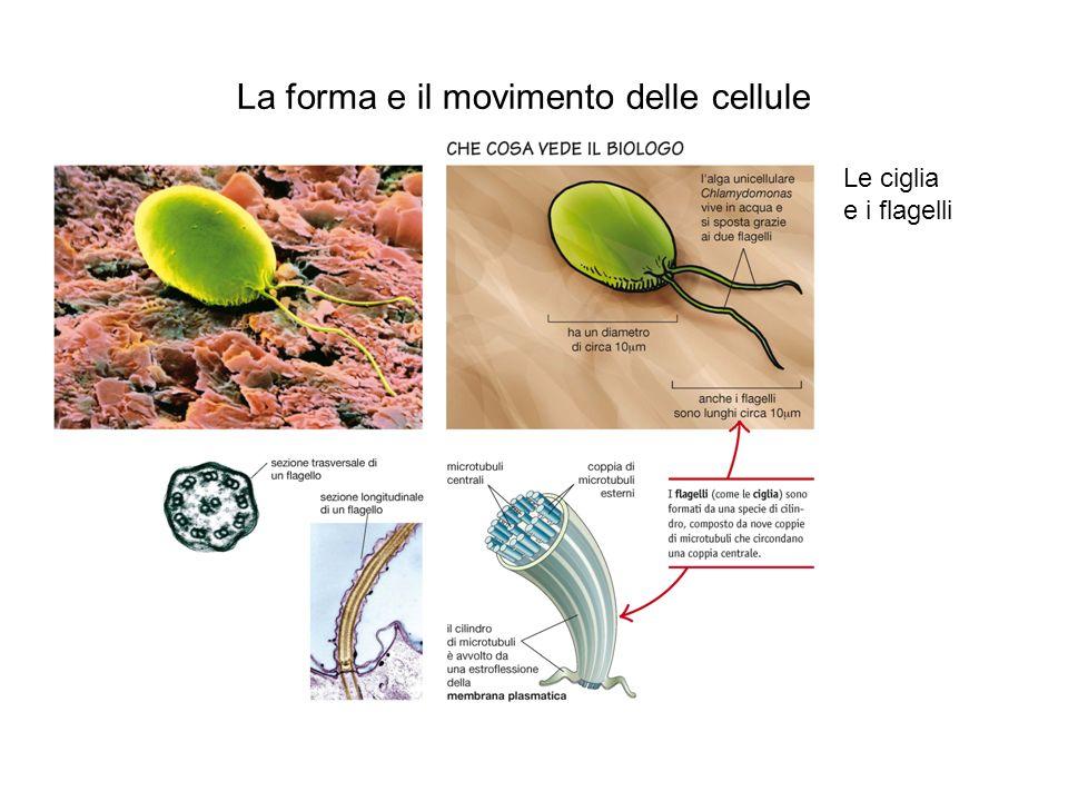 Le giunzioni cellulari Le giunzioni delle cellule animali