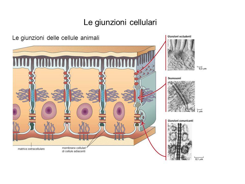 Le giunzioni cellulari Le giunzioni delle cellule vegetali