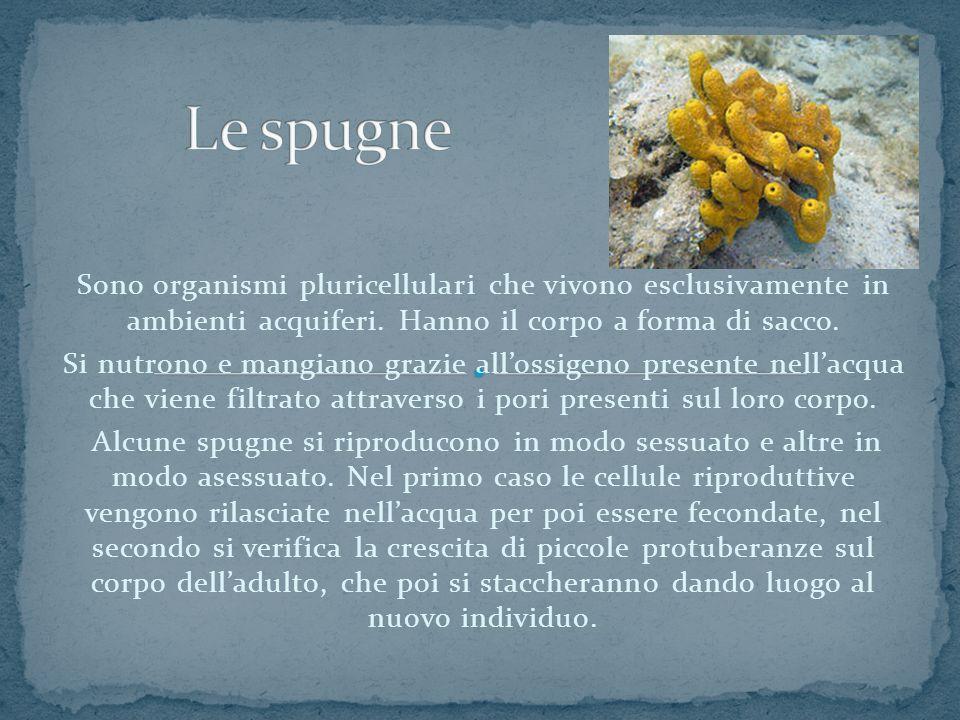 Sono organismi pluricellulari che vivono esclusivamente in ambienti acquiferi. Hanno il corpo a forma di sacco. Si nutrono e mangiano grazie all'ossig