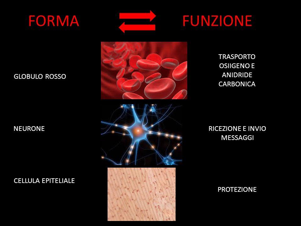FORMAFUNZIONE GLOBULO ROSSO NEURONE CELLULA EPITELIALE TRASPORTO OSIIGENO E ANIDRIDE CARBONICA RICEZIONE E INVIO MESSAGGI PROTEZIONE