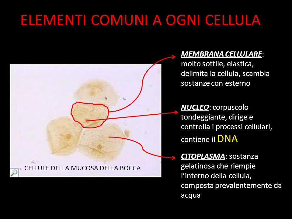 ELEMENTI COMUNI A OGNI CELLULA CELLULE DELLA MUCOSA DELLA BOCCA MEMBRANA CELLULARE: molto sottile, elastica, delimita la cellula, scambia sostanze con esterno NUCLEO: corpuscolo tondeggiante, dirige e controlla i processi cellulari, contiene il DNA CITOPLASMA: sostanza gelatinosa che riempie l'interno della cellula, composta prevalentemente da acqua