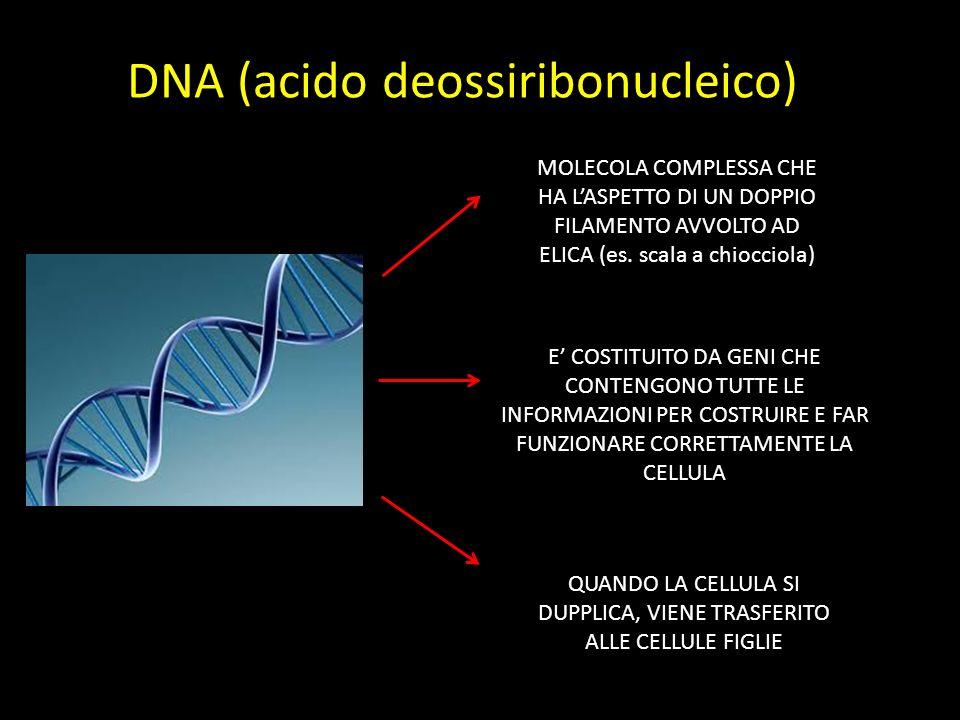 DNA (acido deossiribonucleico) MOLECOLA COMPLESSA CHE HA L'ASPETTO DI UN DOPPIO FILAMENTO AVVOLTO AD ELICA (es.