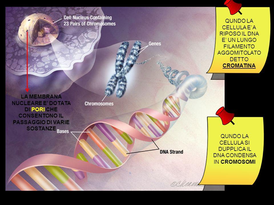 QUNDO LA CELLULA E' A RIPOSO IL DNA E' UN LUNGO FILAMENTO AGGOMITOLATO DETTO CROMATINA QUNDO LA CELLULA SI DUPPLICA IL DNA CONDENSA IN CROMOSOMI LA MEMBRANA NUCLEARE E' DOTATA DI PORI CHE CONSENTONO IL PASSAGGIO DI VARIE SOSTANZE