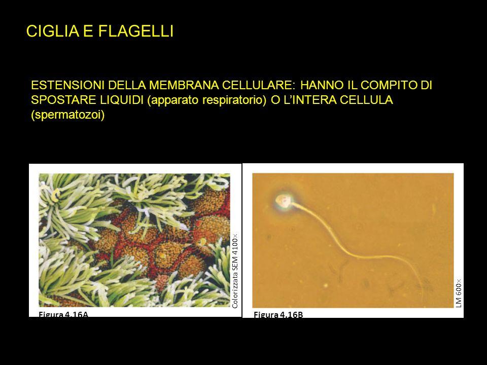 CIGLIA E FLAGELLI ESTENSIONI DELLA MEMBRANA CELLULARE: HANNO IL COMPITO DI SPOSTARE LIQUIDI (apparato respiratorio) O L'INTERA CELLULA (spermatozoi) LM 600  Colorizzata SEM 4100  Figura 4.16AFigura 4.16B
