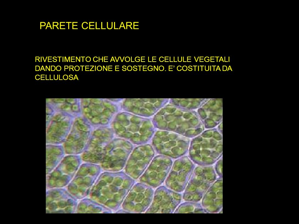 PARETE CELLULARE RIVESTIMENTO CHE AVVOLGE LE CELLULE VEGETALI DANDO PROTEZIONE E SOSTEGNO.