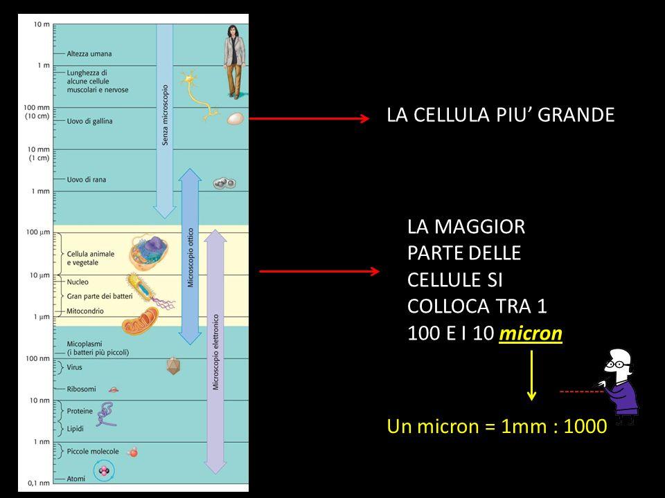 LA CELLULA PIU' GRANDE LA MAGGIOR PARTE DELLE CELLULE SI COLLOCA TRA 1 100 E I 10 micron Un micron = 1mm : 1000