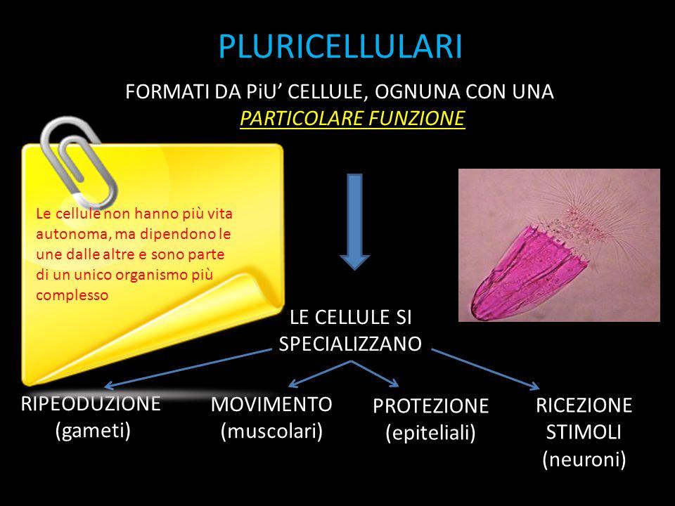 PLURICELLULARI FORMATI DA PiU' CELLULE, OGNUNA CON UNA PARTICOLARE FUNZIONE MOVIMENTO (muscolari) PROTEZIONE (epiteliali) RIPEODUZIONE (gameti) RICEZIONE STIMOLI (neuroni) LE CELLULE SI SPECIALIZZANO Le cellule non hanno più vita autonoma, ma dipendono le une dalle altre e sono parte di un unico organismo più complesso
