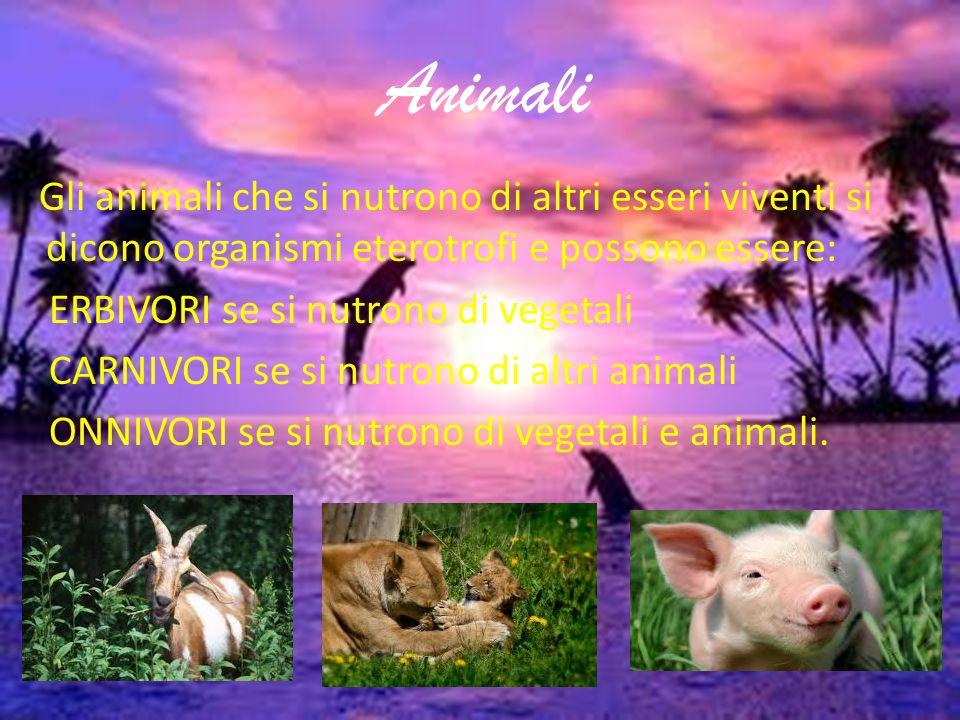 Animali Gli animali che si nutrono di altri esseri viventi si dicono organismi eterotrofi e possono essere: ERBIVORI se si nutrono di vegetali CARNIVORI se si nutrono di altri animali ONNIVORI se si nutrono di vegetali e animali.