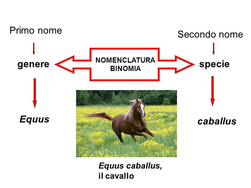 NOMENCLATURA BINOMIA generespecie Primo nome Secondo nome Equus caballus, il cavallo Equus caballus