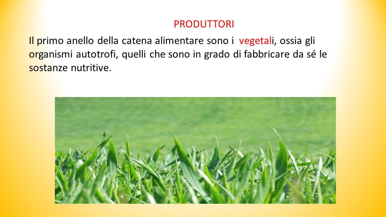 Il primo anello della catena alimentare sono i vegetali, ossia gli organismi autotrofi, quelli che sono in grado di fabbricare da sé le sostanze nutritive.