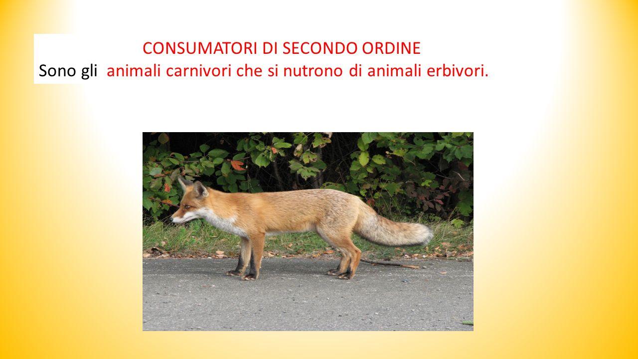 CONSUMATORI DI SECONDO ORDINE Sono gli animali carnivori che si nutrono di animali erbivori.