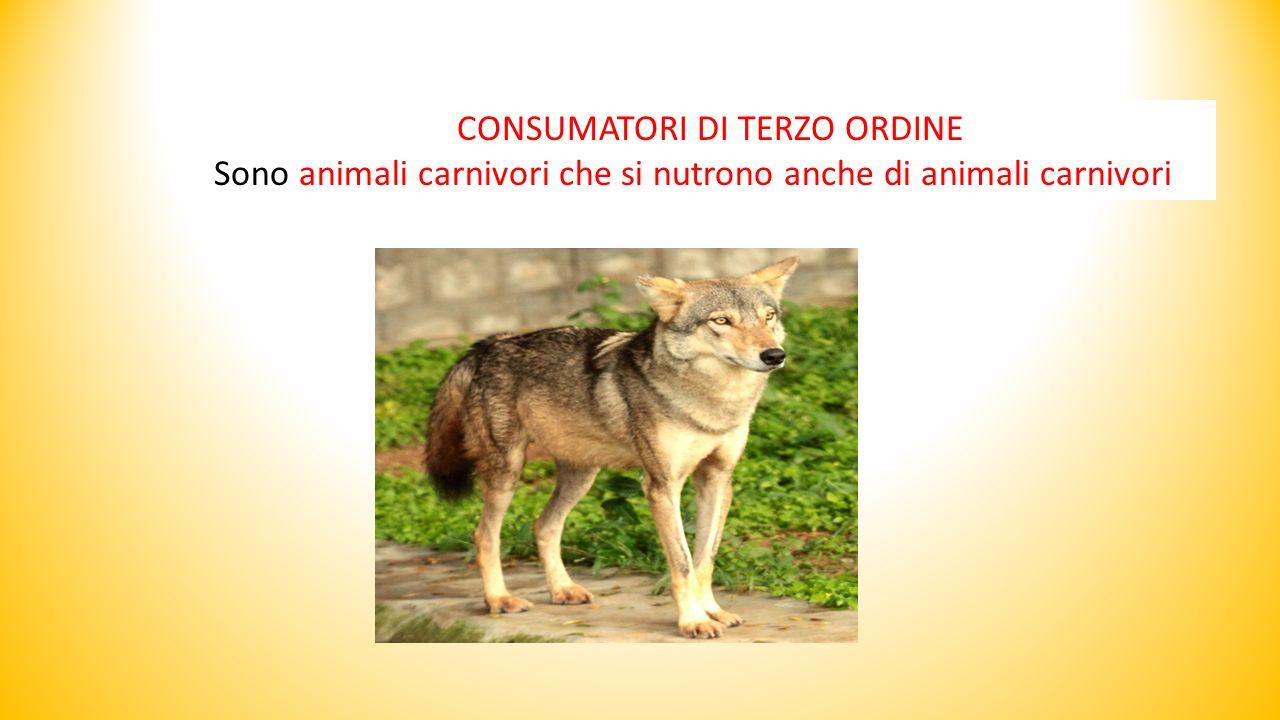 CONSUMATORI DI TERZO ORDINE Sono animali carnivori che si nutrono anche di animali carnivori
