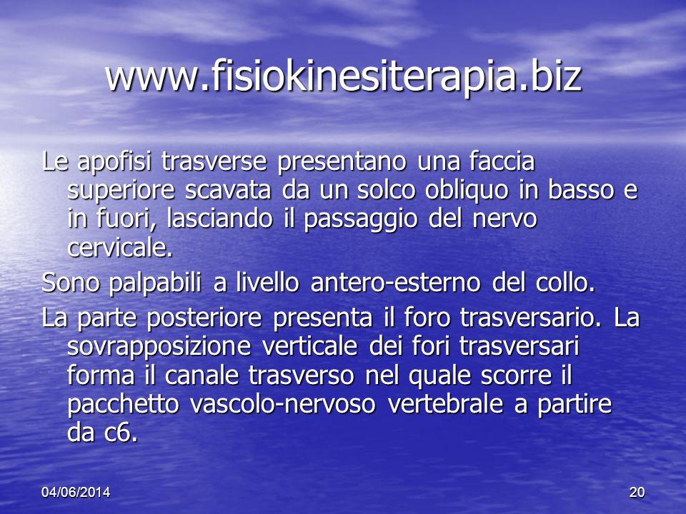 04/06/201420 www.fisiokinesiterapia.biz Le apofisi trasverse presentano una faccia superiore scavata da un solco obliquo in basso e in fuori, lasciand