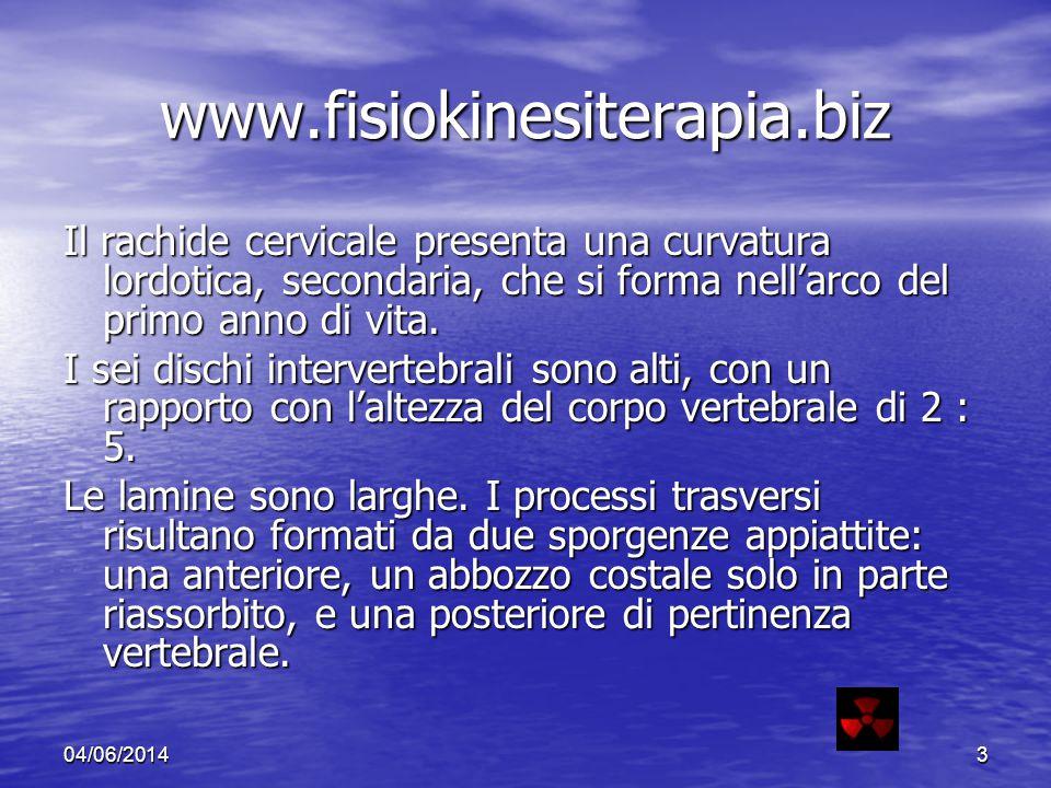 04/06/20143 www.fisiokinesiterapia.biz Il rachide cervicale presenta una curvatura lordotica, secondaria, che si forma nellarco del primo anno di vita