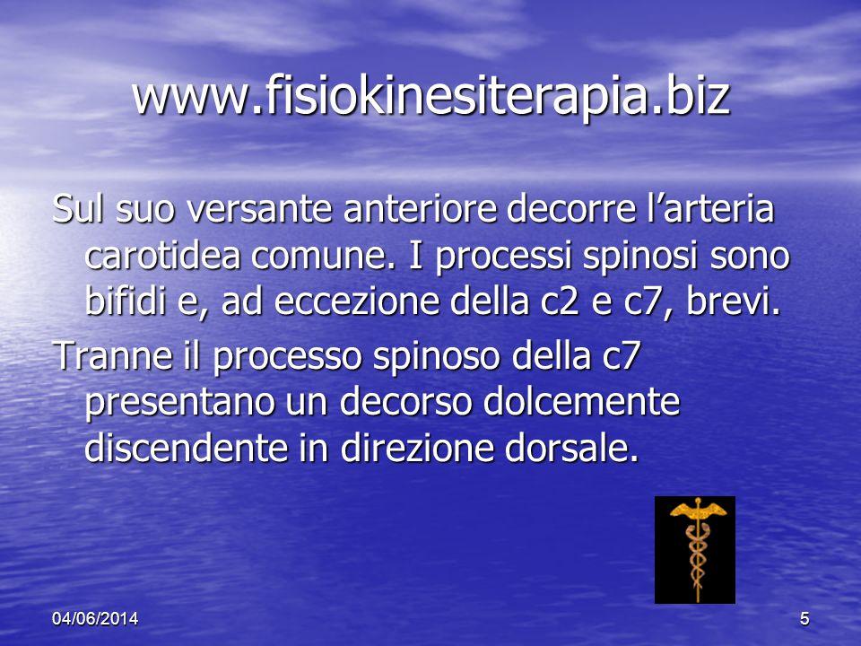 04/06/20145 www.fisiokinesiterapia.biz Sul suo versante anteriore decorre larteria carotidea comune. I processi spinosi sono bifidi e, ad eccezione de