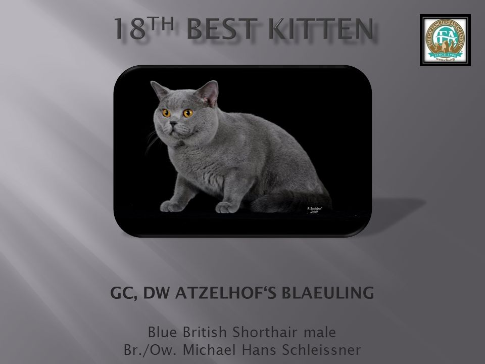 GC, DW ATZELHOFS BLAEULING Blue British Shorthair male Br./Ow. Michael Hans Schleissner