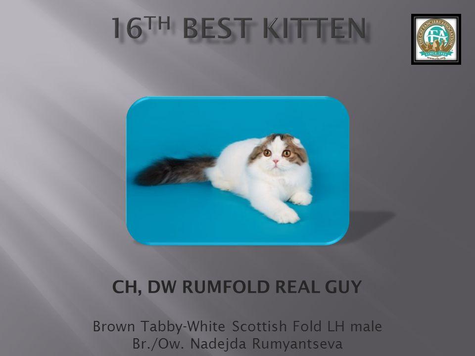 CH, DW RUMFOLD REAL GUY Brown Tabby-White Scottish Fold LH male Br./Ow. Nadejda Rumyantseva