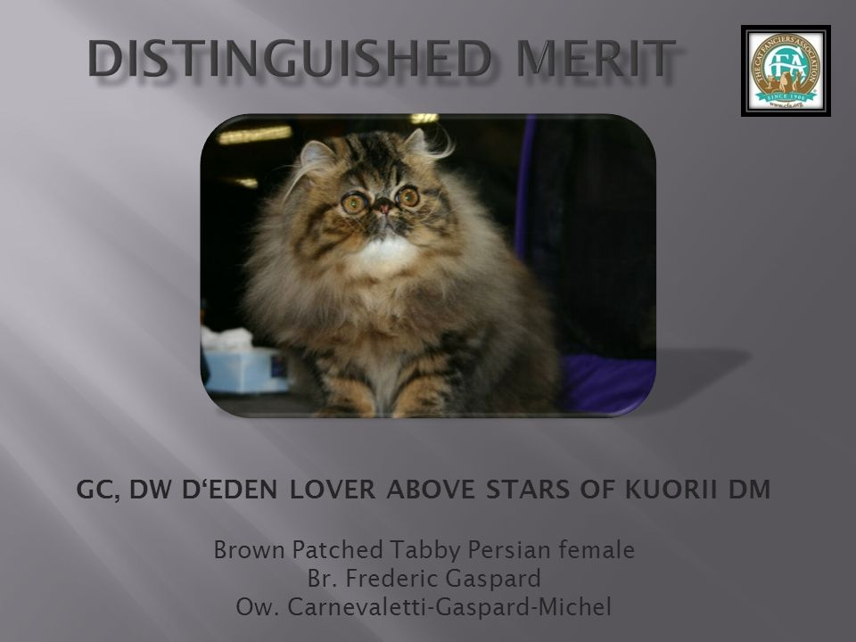 GC, DW DEDEN LOVER ABOVE STARS OF KUORII DM Brown Patched Tabby Persian female Br. Frederic Gaspard Ow. Carnevaletti-Gaspard-Michel