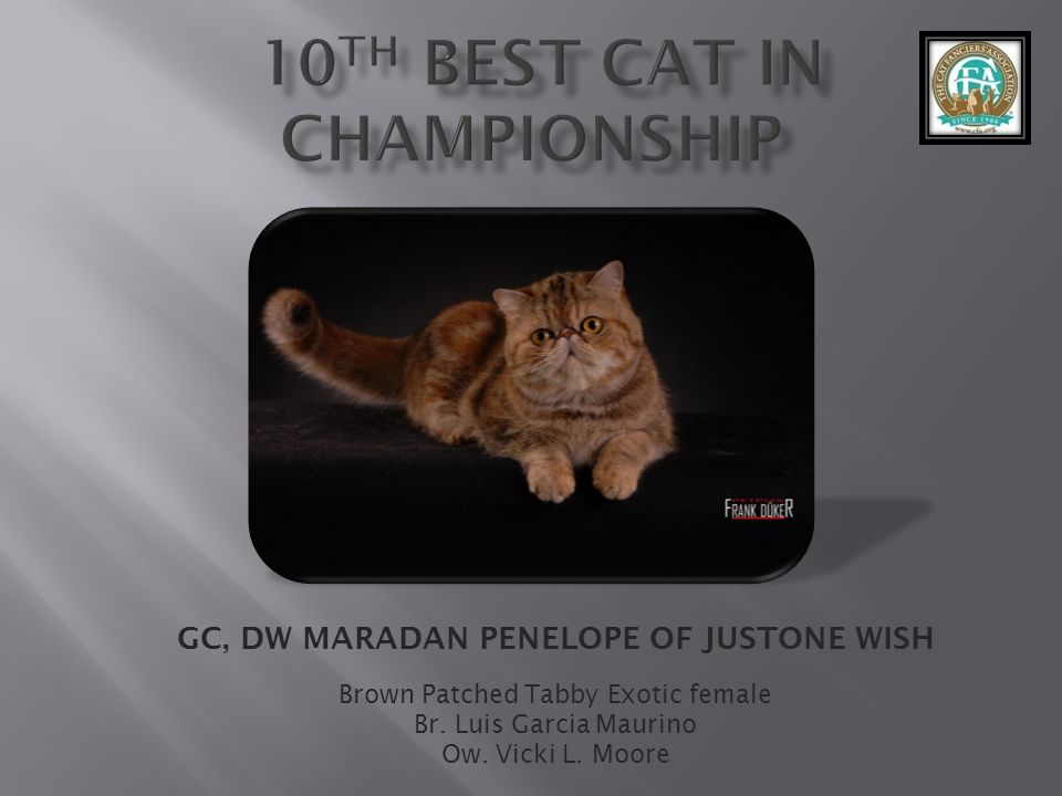 GC, DW MARADAN PENELOPE OF JUSTONE WISH Brown Patched Tabby Exotic female Br. Luis Garcia Maurino Ow. Vicki L. Moore
