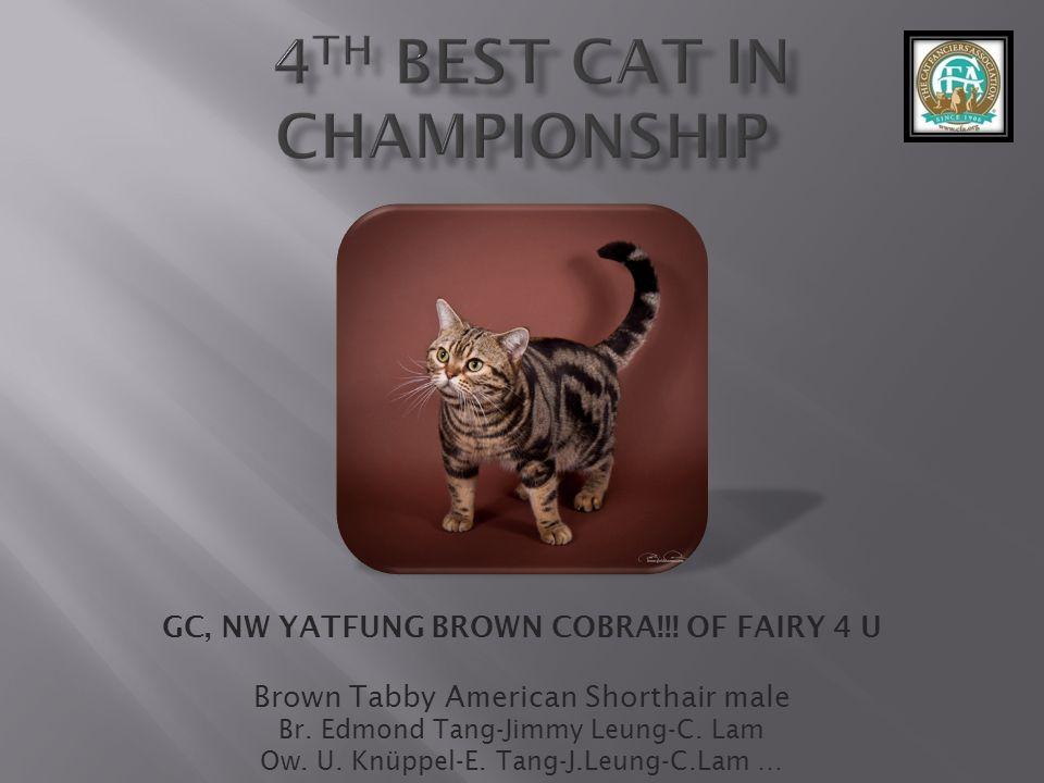 GC, NW YATFUNG BROWN COBRA!!.OF FAIRY 4 U Brown Tabby American Shorthair male Br.