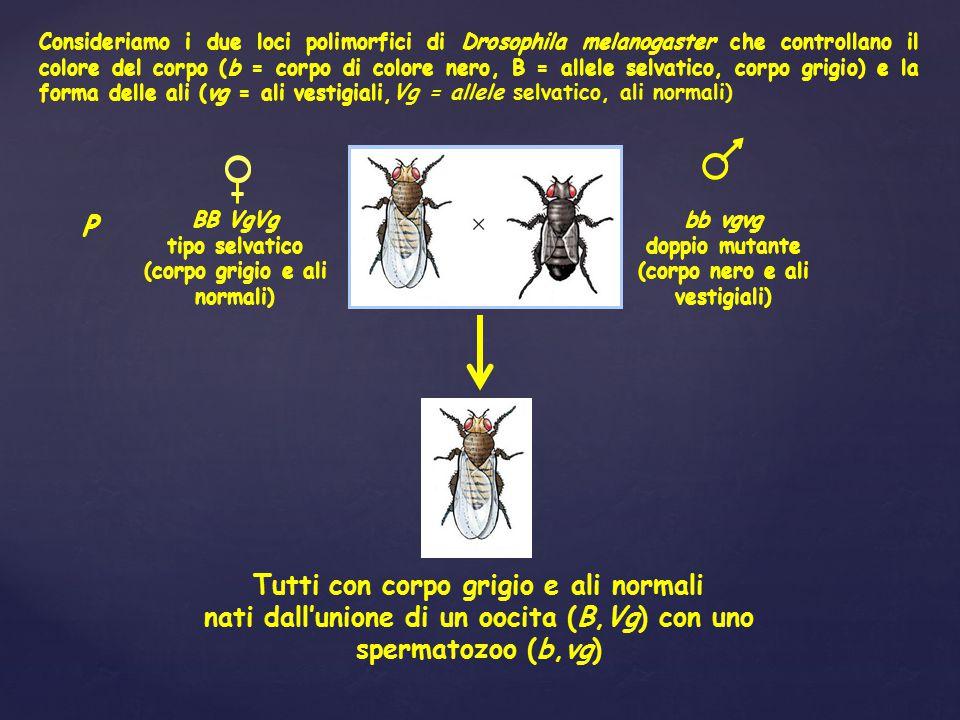BB VgVg tipo selvatico (corpo grigio e ali normali) bb vgvg doppio mutante (corpo nero e ali vestigiali) P Tutti con corpo grigio e ali normali nati d