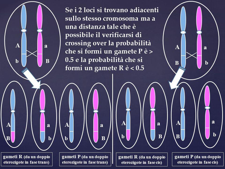 A b a B A B a b A b a B A B a b A b a B A B a b Se i 2 loci si trovano adiacenti sullo stesso cromosoma ma a una distanza tale che è possibile il veri