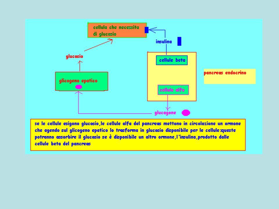 Glicogeno epatico glucosio Cellula che richiede glucosio insulina Pancreas endocrino glucagone Cellule beta Cellule alfa Recettore per insulina