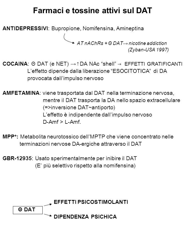 Farmaci e tossine attivi sul DAT ANTIDEPRESSIVI: Bupropione, Nomifensina, Amineptina AT nAChRs + Θ DAT→ nicotine addiction (Zyban-USA 1997) COCAINA: Θ DAT (e NET) → ↑DA NAc shell → EFFETTI GRATIFICANTI L'effetto dipende dalla liberazione ESOCITOTICA di DA provocata dall'impulso nervoso AMFETAMINA : viene trasportata dal DAT nella terminazione nervosa, mentre il DAT trasporta la DA nello spazio extracellulare (=>inversione DAT~antiporto) L'effetto è indipendente dall'impulso nervoso D-Amf > L-Amf.