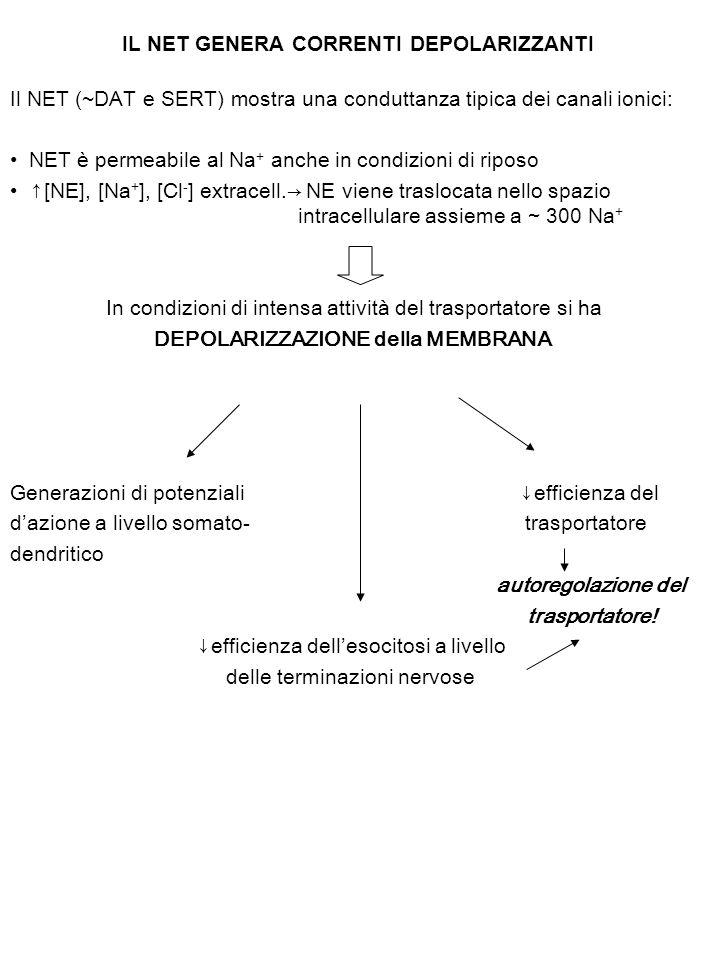 IL NET GENERA CORRENTI DEPOLARIZZANTI Il NET (~DAT e SERT) mostra una conduttanza tipica dei canali ionici: NET è permeabile al Na + anche in condizioni di riposo ↑[NE], [Na + ], [Cl - ] extracell.→ NE viene traslocata nello spazio intracellulare assieme a ~ 300 Na + In condizioni di intensa attività del trasportatore si ha DEPOLARIZZAZIONE della MEMBRANA Generazioni di potenziali ↓efficienza del d'azione a livello somato- trasportatore dendritico autoregolazione del trasportatore.