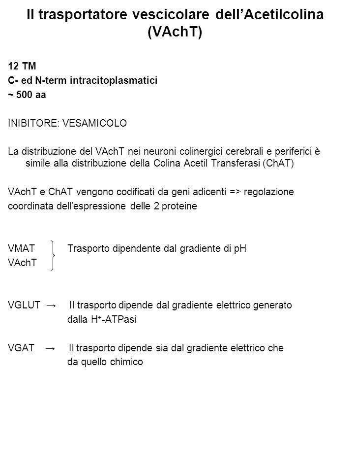 Il trasportatore vescicolare dell'Acetilcolina (VAchT) 12 TM C- ed N-term intracitoplasmatici ~ 500 aa INIBITORE: VESAMICOLO La distribuzione del VAchT nei neuroni colinergici cerebrali e periferici è simile alla distribuzione della Colina Acetil Transferasi (ChAT) VAchT e ChAT vengono codificati da geni adicenti => regolazione coordinata dell'espressione delle 2 proteine VMAT Trasporto dipendente dal gradiente di pH VAchT VGLUT → Il trasporto dipende dal gradiente elettrico generato dalla H + -ATPasi VGAT → Il trasporto dipende sia dal gradiente elettrico che da quello chimico