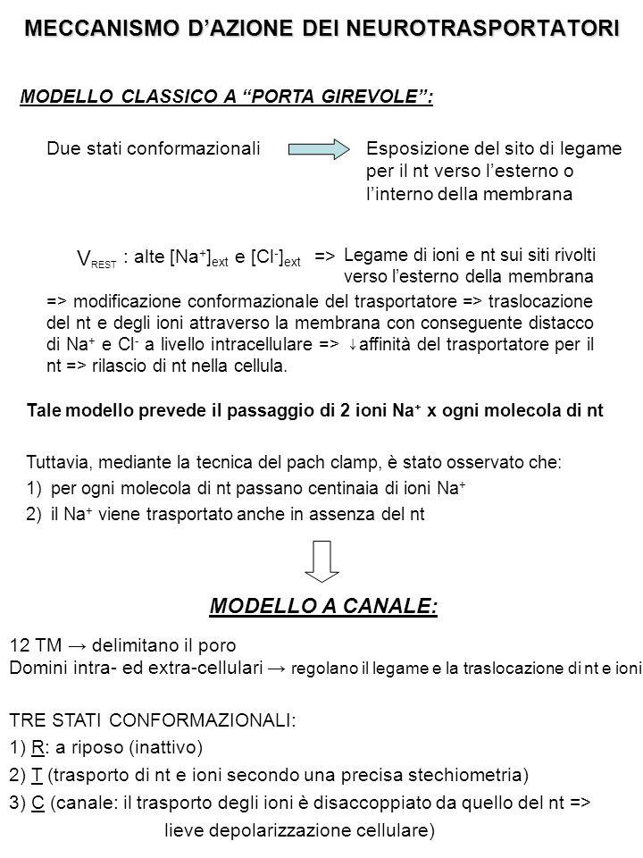 MECCANISMO D'AZIONE DEI NEUROTRASPORTATORI MODELLO CLASSICO A PORTA GIREVOLE : Due stati conformazionaliEsposizione del sito di legame per il nt verso l'esterno o l'interno della membrana V REST : alte [Na + ] ext e [Cl - ] ext => Legame di ioni e nt sui siti rivolti verso l'esterno della membrana => modificazione conformazionale del trasportatore => traslocazione del nt e degli ioni attraverso la membrana con conseguente distacco di Na + e Cl - a livello intracellulare => ↓ affinità del trasportatore per il nt => rilascio di nt nella cellula.