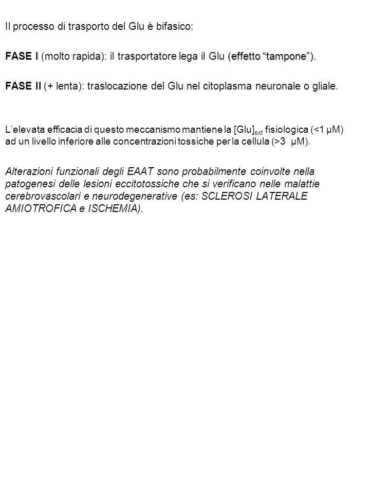 """Il processo di trasporto del Glu è bifasico: (effetto """"tampone""""). FASE I (molto rapida): il trasportatore lega il Glu (effetto """"tampone""""). FASE II (+"""
