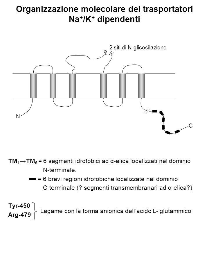 Organizzazione molecolare dei trasportatori Na + /K + dipendenti TM 1 →TM 6 = 6 segmenti idrofobici ad α-elica localizzati nel dominio N-terminale. =