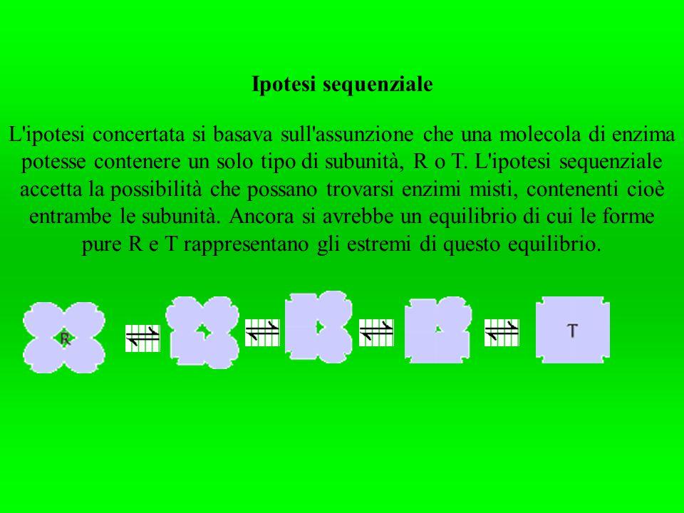 Ipotesi sequenziale L'ipotesi concertata si basava sull'assunzione che una molecola di enzima potesse contenere un solo tipo di subunità, R o T. L'ipo