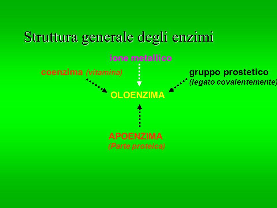 Struttura generale degli enzimi APOENZIMA (Parte proteica) OLOENZIMA coenzima (vitamina) ione metallico gruppo prostetico (legato covalentemente)