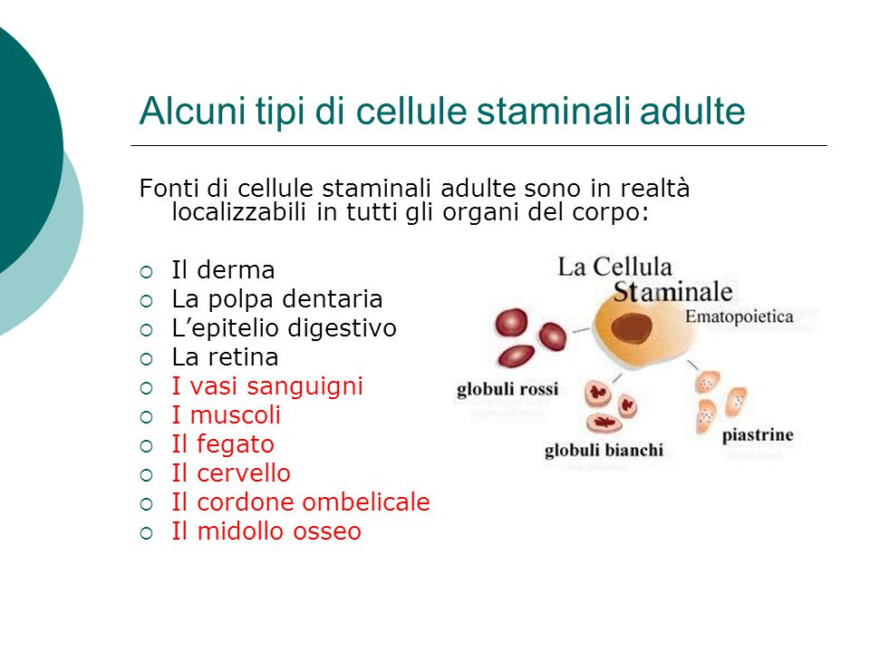Alcuni tipi di cellule staminali adulte Fonti di cellule staminali adulte sono in realtà localizzabili in tutti gli organi del corpo: Il derma La polp