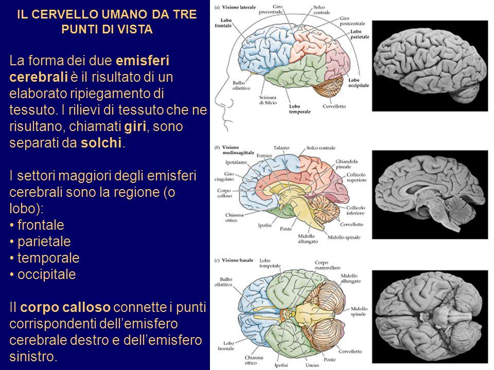 IL CERVELLO UMANO DA TRE PUNTI DI VISTA La forma dei due emisferi cerebrali è il risultato di un elaborato ripiegamento di tessuto. I rilievi di tessu