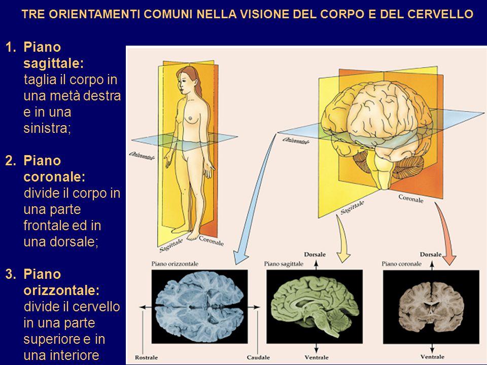 TRE ORIENTAMENTI COMUNI NELLA VISIONE DEL CORPO E DEL CERVELLO 1.Piano sagittale: taglia il corpo in una metà destra e in una sinistra; 2.Piano corona