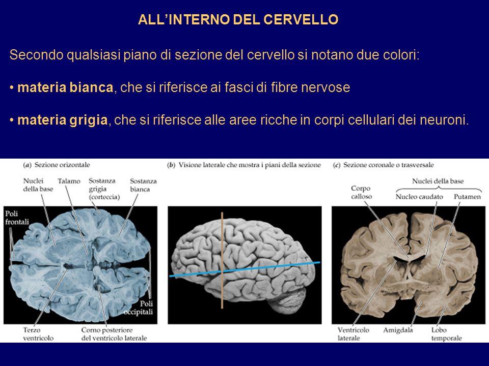 ALLINTERNO DEL CERVELLO Secondo qualsiasi piano di sezione del cervello si notano due colori: materia bianca, che si riferisce ai fasci di fibre nervo